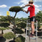 Tvarované okrasné stromy Impeka - 026