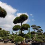 Tvarované okrasné stromy Impeka - 027