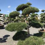 Tvarované okrasné stromy Impeka - 028