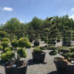 Tvarované okrasné stromy Impeka - 030