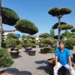 Tvarované okrasné stromy Impeka - 031