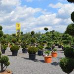 Tvarované okrasné stromy Impeka - 033