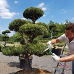 Tvarované okrasné stromy Impeka - 034