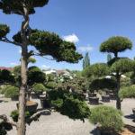 Tvarované okrasné stromy Impeka - 035