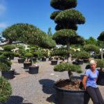 Tvarované okrasné stromy Impeka - 036