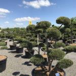 Tvarované okrasné stromy Impeka - 037