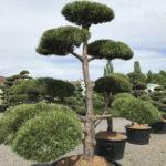 Tvarované okrasné stromy Impeka - 040