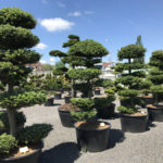 Tvarované okrasné stromy Impeka - 042