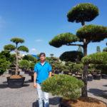 Tvarované okrasné stromy Impeka - 043