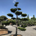 Tvarované okrasné stromy Impeka - 044