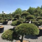 Tvarované okrasné stromy Impeka - 046