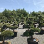 Tvarované okrasné stromy Impeka - 047