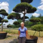 Tvarované okrasné stromy Impeka - 048