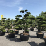 Tvarované okrasné stromy Impeka - 049