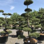 Tvarované okrasné stromy Impeka - 053