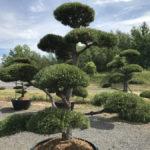 Tvarované okrasné stromy Impeka - 055