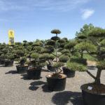 Tvarované okrasné stromy Impeka - 058