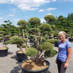 Tvarované okrasné stromy Impeka - 059