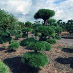 Stromy na plantážích - 35