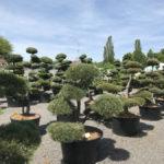 Tvarované okrasné stromy Impeka - 060