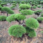 Stromy na plantážích - 40