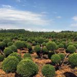 Stromy na plantážích - 04