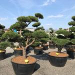 Tvarované stromy Impeka 2017 - 01