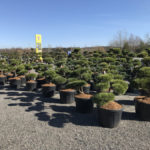 Tvarované stromy Impeka 2017 - 02