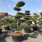 Tvarované stromy Impeka 2017 - 03