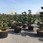 Tvarované stromy Impeka 2017 - 05