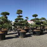 Tvarované stromy Impeka 2017 - 06