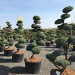Tvarované stromy Impeka 2017 - 11
