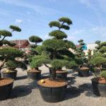Tvarované stromy Impeka 2017 - 12