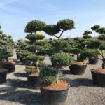 Tvarované stromy Impeka 2017 - 14