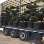Tvarované stromy Impeka 2017 - 16