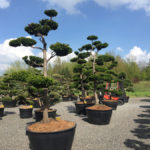 Tvarované stromy Impeka 2017 - 17