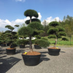 Tvarované stromy Impeka 2017 - 18