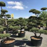 Tvarované stromy Impeka 2017 - 21