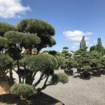 Tvarované stromy Impeka 2017 - 22