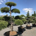 Tvarované stromy Impeka 2017 - 23