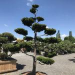 Tvarované stromy Impeka 2017 - 27