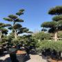 Tvarované stromy Impeka 2018 - 01