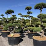 Tvarované stromy Impeka 2018 - 02