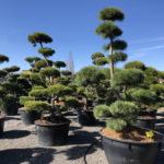 Tvarované stromy Impeka 2018 - 03