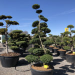Tvarované stromy Impeka 2018 - 04