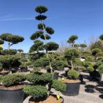 Tvarované stromy Impeka 2018 - 05