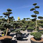 Tvarované stromy Impeka 2018 - 06