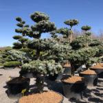 Tvarované stromy Impeka 2018 - 07