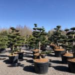 Tvarované stromy Impeka 2018 - 08