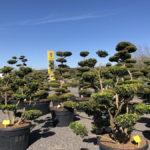 Tvarované stromy Impeka 2018 - 10